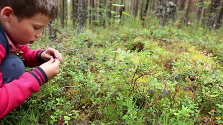 jagody : Little boy collecting and eating ripe bluberries from bush in forest. Karelia, Russia