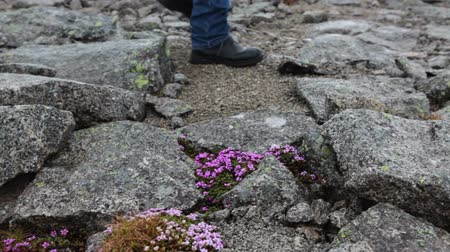 montanhismo : Hiker feet wearing boots walking on the rocky road near growing beautiful blue flowers, close up view