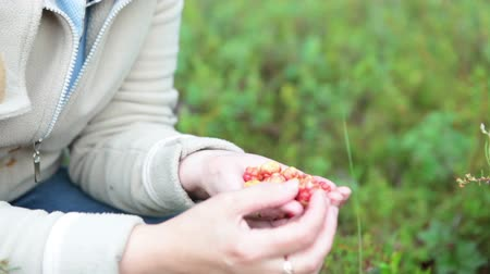 inculto : Woman eating fresh cloudberries from the full fistful. bog of Karelia, Russia