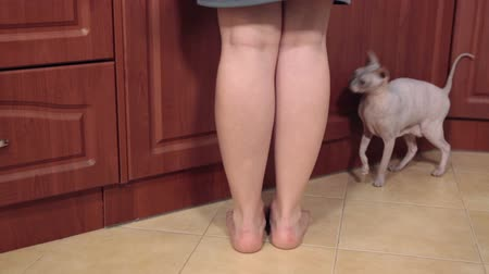 cat bowl : Sphinx cat nuzzle against female legs while asking food, running on floor