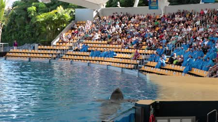killer whale : PUERTO DE LA CRUZ, TENERIFE, SPAIN - CIRCA JAN 2015: Big orca whale swims with a raised head in pool. Orca show with killer whales is in Loro Park (Loro Parque). Loro Parque is the largest zoo in Europe