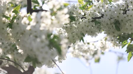lehet : Spring flowering cherry, white flowers close-up, Selective focus and shallow Depth of field.