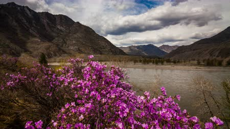 rhododendron : Blooming rhododendron. Timelapse with beautiful clouds. Altay, Russia Stock Footage