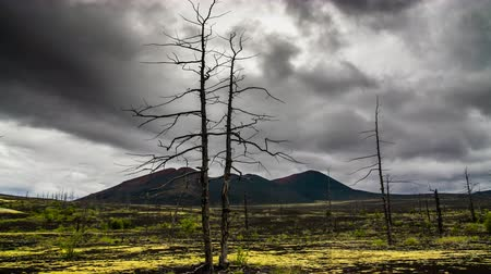 lifeless : Dead trees on a sunset sky background. Kamchatka.