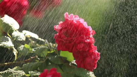 pingos de chuva : Red rose in the garden under the raindrops, rose illuminated by sun rays Stock Footage