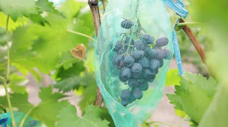цвет бордо : Cluster of juicy blue grapes in vineyard. Bunch of ripe organic berries ready to be harvested in autumn. Dolly shot.