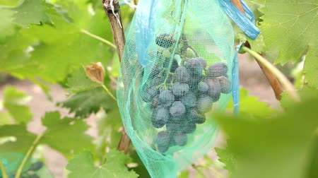 цвет бордо : Cluster of ripe blue grapes in vineyard. Bunch of ripe juicy berries ready to be harvested in autumn. Vertical panorama.