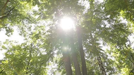coroa : Sun lights up foliage at summer day in grove. Birch, acacia and other trees.