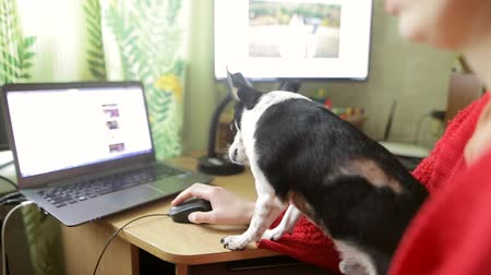 Young woman in a red jacket at home room with a small chihuahua or toy-terrier. Little dog and his misstress watching online videos. Stock mozgókép