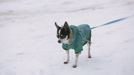 tremble : A small chihuahua dog dressed in a green jacket is trembling and running along a snow-covered street. Next to it is an elderly mistress in warm winter shoes.