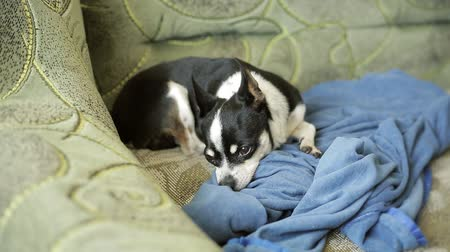 крошечный : Small cute chihuahua dog resting and sleeping on sofa. Стоковые видеозаписи
