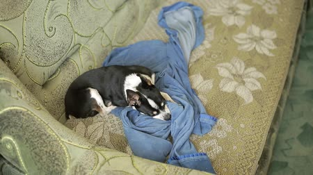 крошечный : A sweet tiny chihuahua dog or toy-terrier hides his nose under the blanket, lying on the couch. Стоковые видеозаписи