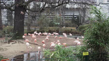 BERLIN, GERMANY - NOV 23, 2018: Pink flamingos in Berlin Zoo.