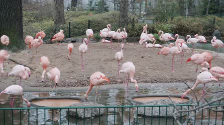 BERLIN, GERMANY - NOV 23, 2018: A flock of pink flamingos in Berlin zoo. Stock Footage