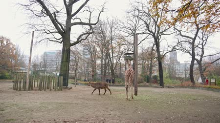 BERLIN, GERMANY - NOV 23, 2018: Antelope walking on the lawn, giraffe eating grass at the Berlin Zoo