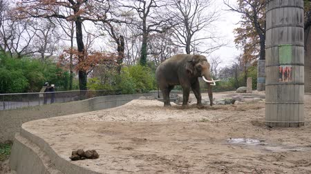 BERLIN, GERMANY - NOV 23, 2018: Big grey elephant and his dung, feces in Berlin zoological garden. Stock Footage