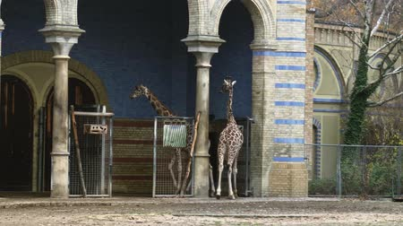 BERLIN, GERMANY - NOV 23, 2018: Group of young African giraffes on a walk.