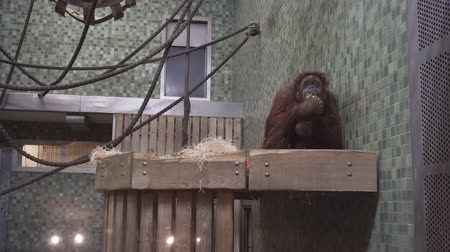 BERLIN, GERMANY - NOV 23, 2018: Cute orangutan eats broccoli in the Berlin Zoological Garden.