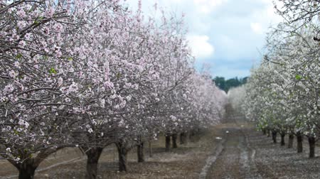 абрикосы : Blooming almond trees at spring time