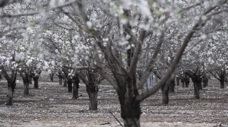 meruňka : Blooming almond trees at spring time