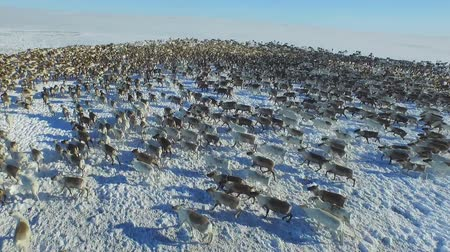 stádo : Aerial view of herd of reindeer, which ran on snow in tundra.