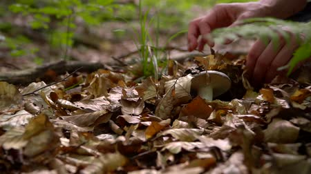 porcini mushrooms : Woman found small mushroom Stock Footage