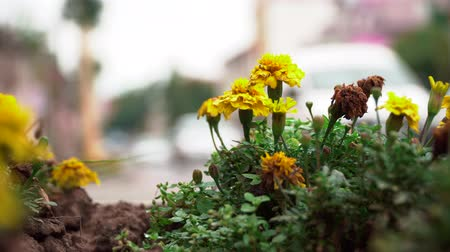 bitki : Flowerbed with marigolds on the background of traffic. Close-up of flowerbed with flowers on a blurred road background with cars.