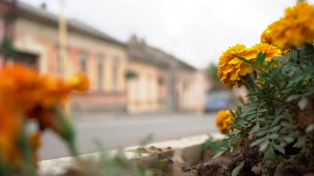 rozmazaný : Flowerbed with marigolds on the background of traffic. Close-up of flowerbed with flowers on a blurred road background with cars.