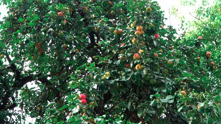 cidra : Apple tree with ripe apples. Tree with ripe, red apples and foliage. Vídeos