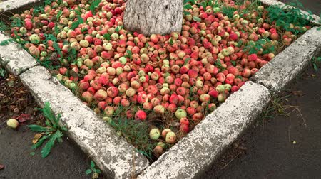 A lot of apples near the tree on the ground . Some apples are rotten. Red apples on the ground near the asphalt.