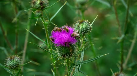 Bees collect pollen from the flower of a Thistle. Bee sat down on the violet thorn on the background of grass.