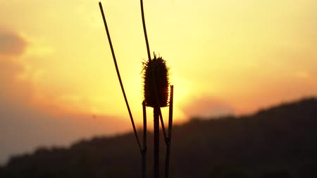 close - up of a thorn n beautiful sunset background in the field. Plant on the background of the summer sunset or dawn. Stok Video