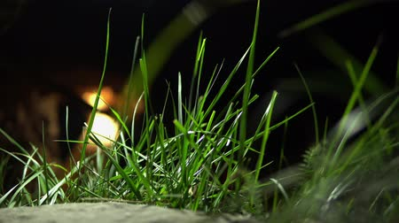 green grass close - up on dark , blurred background. motion grass