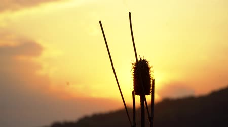 close - up of a thorn n beautiful sunset background in the field. Plant on the background of the summer sunset or dawn. Stock Footage