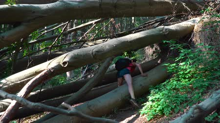předstírat : tourists climb through the fallen tree. In the forest against the trees. The girl climbs through the logs.