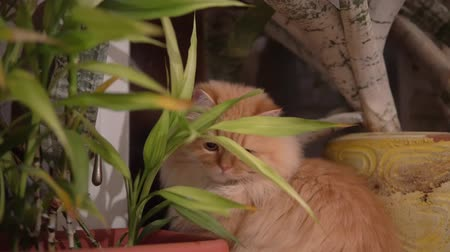 hides : Red cat hides behind a flower and sniffs it. close up. Domestic cat on the background of flowers close-up. cute cat looking at the camera. hunts and plays
