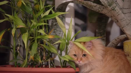 sitting floor : Red cat hides behind a flower and sniffs it. close up. Domestic cat on the background of flowers close-up. cute cat looking at the camera. hunts and plays