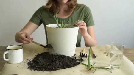 вера : Adding dirt into pot with aloe vera