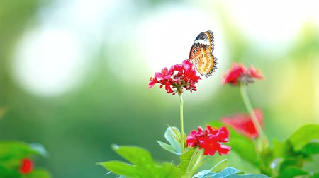 bebida : Butterfly and red flower