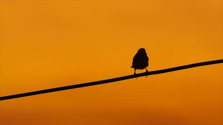 kable : bird on the wires at sunset Wideo