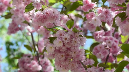 oriental cherry tree : Beautiful pink sakura blossoms in a spring garden. Stock Footage