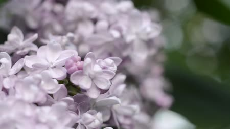 inflorescência : Gentle light flower of lilac in a spring garden Stock Footage