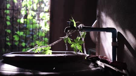 urlop : Water is Life. The moment of Water dripping flowing through a ivys leave going into the old big earthen jars. Light and shadow, Slow motion Wideo
