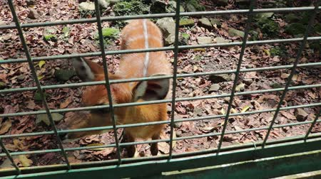 kafes : Sambar Deer Cervus unicolour in Zoo Cage Stok Video