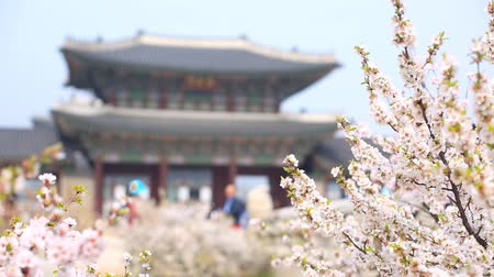 gyeongbok : gyeongbokgung palace with cherry blossom tree in spring time in seoul city of korea, south korea. Stock Footage