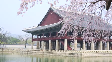 gyeongbokgung : gyeongbokgung palace with cherry blossom tree in spring time in seoul city of korea, south korea. Stock Footage