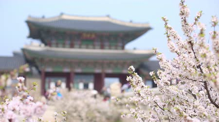 клипсы : cherry blossom at gyeongbokgung palace in spring with tourist, South Korea.
