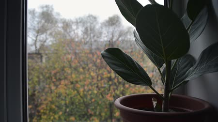 cosiness : green ficus plant in brown pot on windowsill with blurry falling first fluffy snow and colorful leaves outside home window, close up full HD stock video footage background in real-time Stock Footage