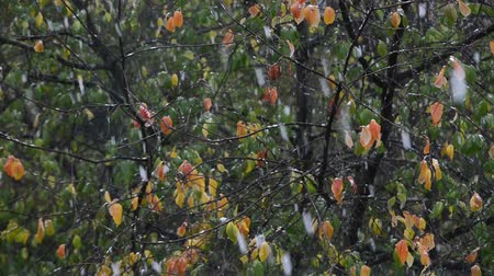 milza : falling first autumn snow on colorful trees background, close up full HD stock video footage in real-time Filmati Stock