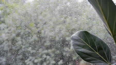 ficus : ficus plant leaves with bad rainy summer day weather outside home window on green trees blurred background, selective focus of closeup full hd stock video footage in real time